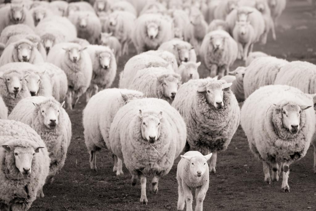 Moutons estancia Nibepo Aike