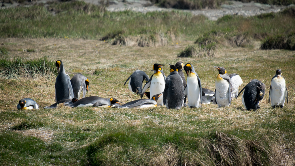 Colonie de pingouin
