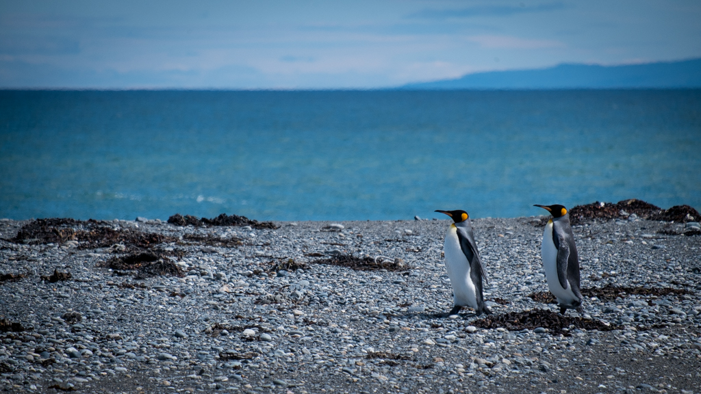 Pingouins en balade