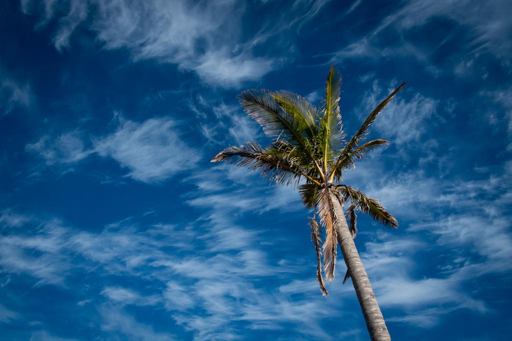 Palmier Ile de Pâques